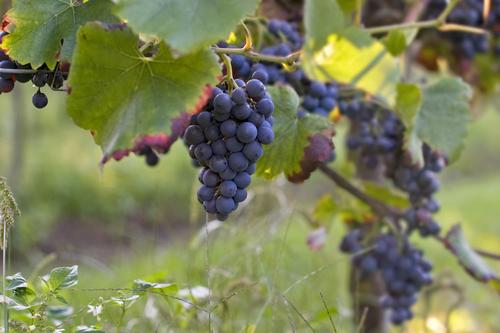 ten bunder druiven